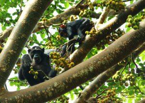 Schimpansen bei der Nahrungssuche