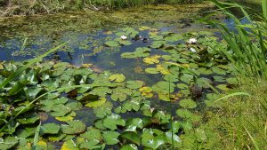 Teich nach Gewässerbepflanzung Amphibien
