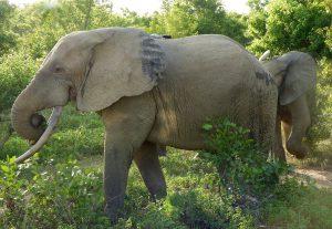 Elefant mit Herde