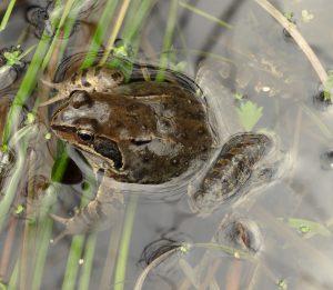 Grasfrosch im Laichgewässer