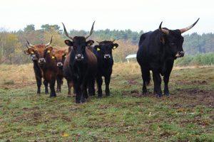 Beweidung unserer Herde Heckrinder