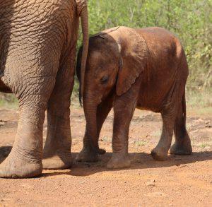 Mbegu sucht die Nähe der anderen Waisenelefanten