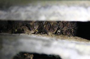 eine Gruppe Mopsfledermäuse in ihrem Schlafquartier Fledermausarten