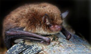 Wasserfledermäuse schlafen am Tage in alten Baumhöhlen Fledermausarten