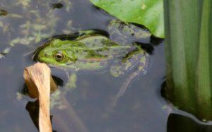 Wasserfrosch im Laichgewässer