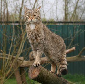 Wildkatze hält Ausschau