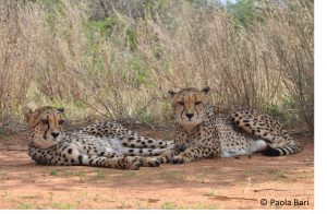 Zwei junge Geparde