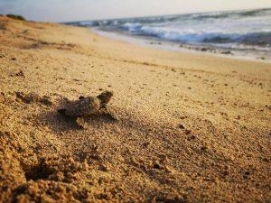 Junge Schildreöte auf den Wem in das Meer