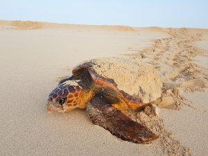 Unechte Karettschildkröte bei Eiablage